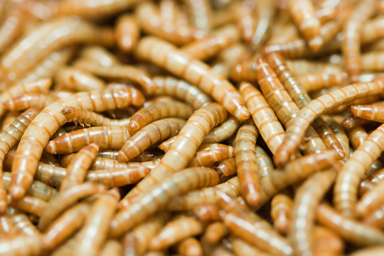 Mealworms, larva of Tenebrio molitor. Mealworms are used to feed a variety of reptiles and amphibians.