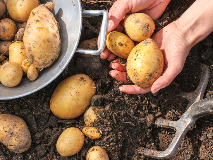 Growing-Potatoes