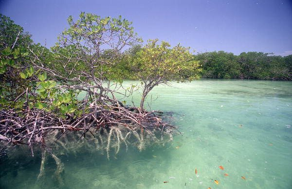 Mangrove_tree_inside_Snipes_Point_near_Key_West-e14804558307571