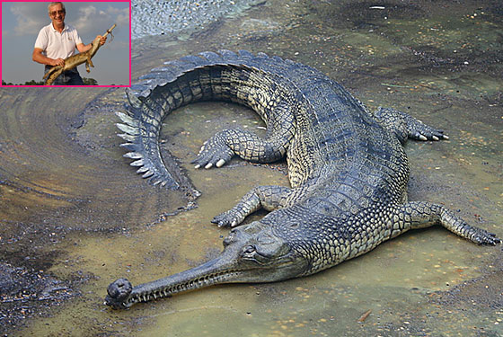 lacoste_crocodile